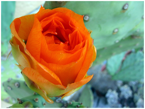 A Prickly Pear flower