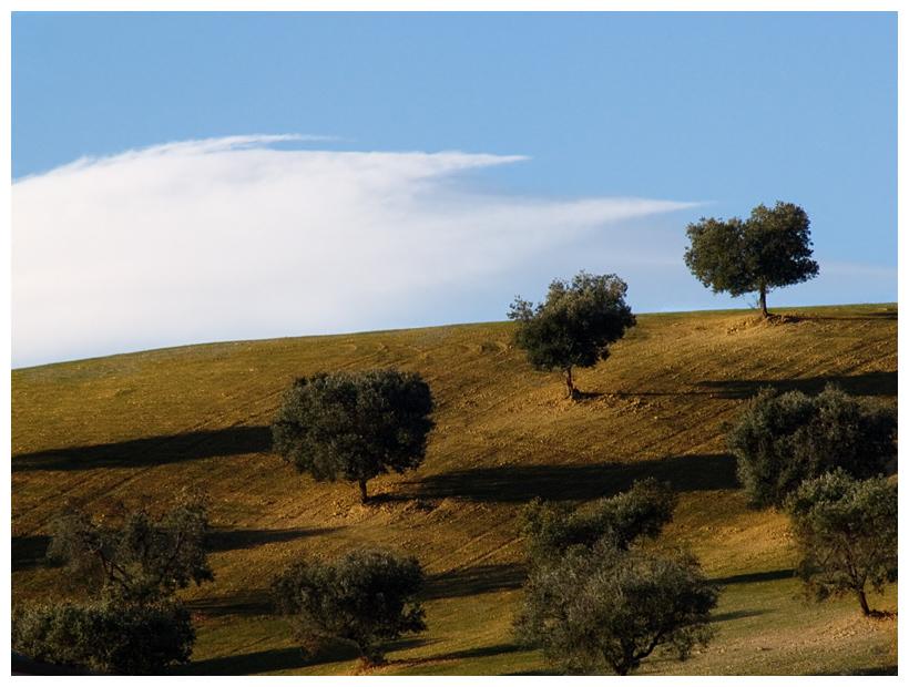 The last olive-trees